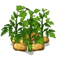 Planting and cultivation of potatoe vector image vector image