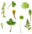 set watercolor drawing herbs and leaves vector image