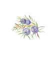 juniper berries watercolor vector image