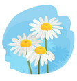daisy flowers with white petals and yellow middle vector image vector image