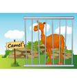 Cartoon Zoo Camel vector image