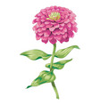 beautiful pink zinnia flower isolated on white vector image vector image