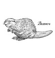 river beaver wild animal symbol of the north and vector image
