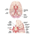 Circle Of Willis vector image vector image