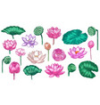 pink lotus water lily flowers pink lotus and vector image