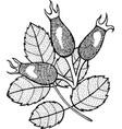 rosehip - graphic ink botanical artwork vector image