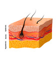 detailed human skin structure medical vector image