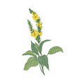 tender verbascum or mullein flowers isolated on vector image vector image