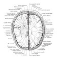 cross section of head 2 cm above supraorbital vector image vector image