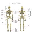 Human skeleton front and rear view with vector image vector image
