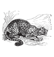 Little Spotted Cat engraving vector image vector image
