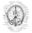 cross section head through eyeballs vintage vector image vector image