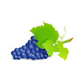 grape branch with blue grapes realistic vector image vector image