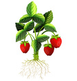 Fresh strawberry on the tree vector image vector image