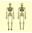 Human skeleton front and rear view vector image vector image