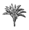 ink sketch ravenala palm vector image vector image