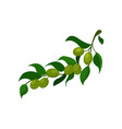 olive branch with leaves cartoon vector image