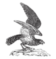 Osprey vintage engraving vector image vector image