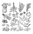 sketch of spices and herbs vintage vector image vector image