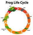 diagram showing life cycle frog vector image vector image