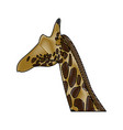 head giraffe animal herbivore african wildlife