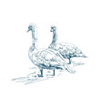 two geese graze on a farm beautiful white swans vector image vector image