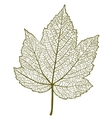 maple leaf isolated vector image vector image