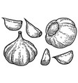 set garlic in engraving style design vector image vector image