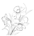 Daffodil flower or narcissus isolated on white vector image
