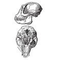 lateral and lower views of langur monkey skull vector image vector image