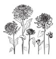 japanese chrysanthemum set contour realistic vector image vector image