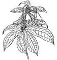 plant paris polyphylla vector image vector image