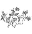 Griffonia Simplicifolia vector image vector image