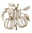 engraving bell peppers vector image
