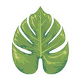tropical exotic leaf of monstera tree with vector image