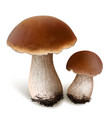 porcini mushrooms vector image vector image