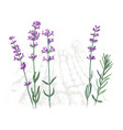 hand drawn lavender flowers and branches over the vector image