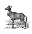 Nilgai vintage engraving vector image vector image