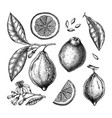 ink hand drawn citrus fruits collection of vector image vector image