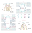 Adult and baby tooth dental anatomy vector image