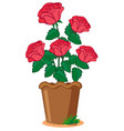 pink roses in pot vector image