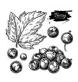 black currant drawing isolated berry vector image vector image