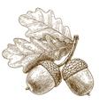 engraving acorns vector image