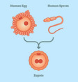 what is zygote - diagram vector image