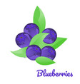 isolated of blueberries vector image vector image