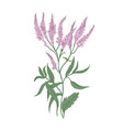 common verbena flowers isolated on white vector image