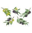 Agriculture olive branch with ripe and raw berries vector image vector image
