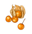 Hand drawn physalis isolated on white background