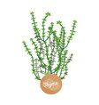 thyme poster aromatic plant vector image