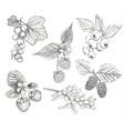sketch berries set vector image